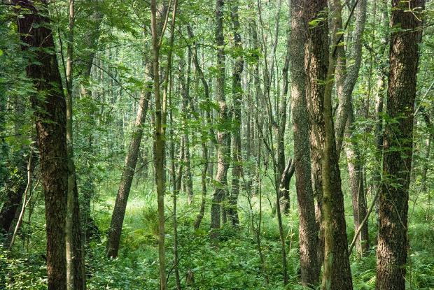 Black alder forest.