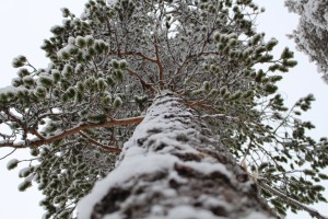 Pine photographed from below.