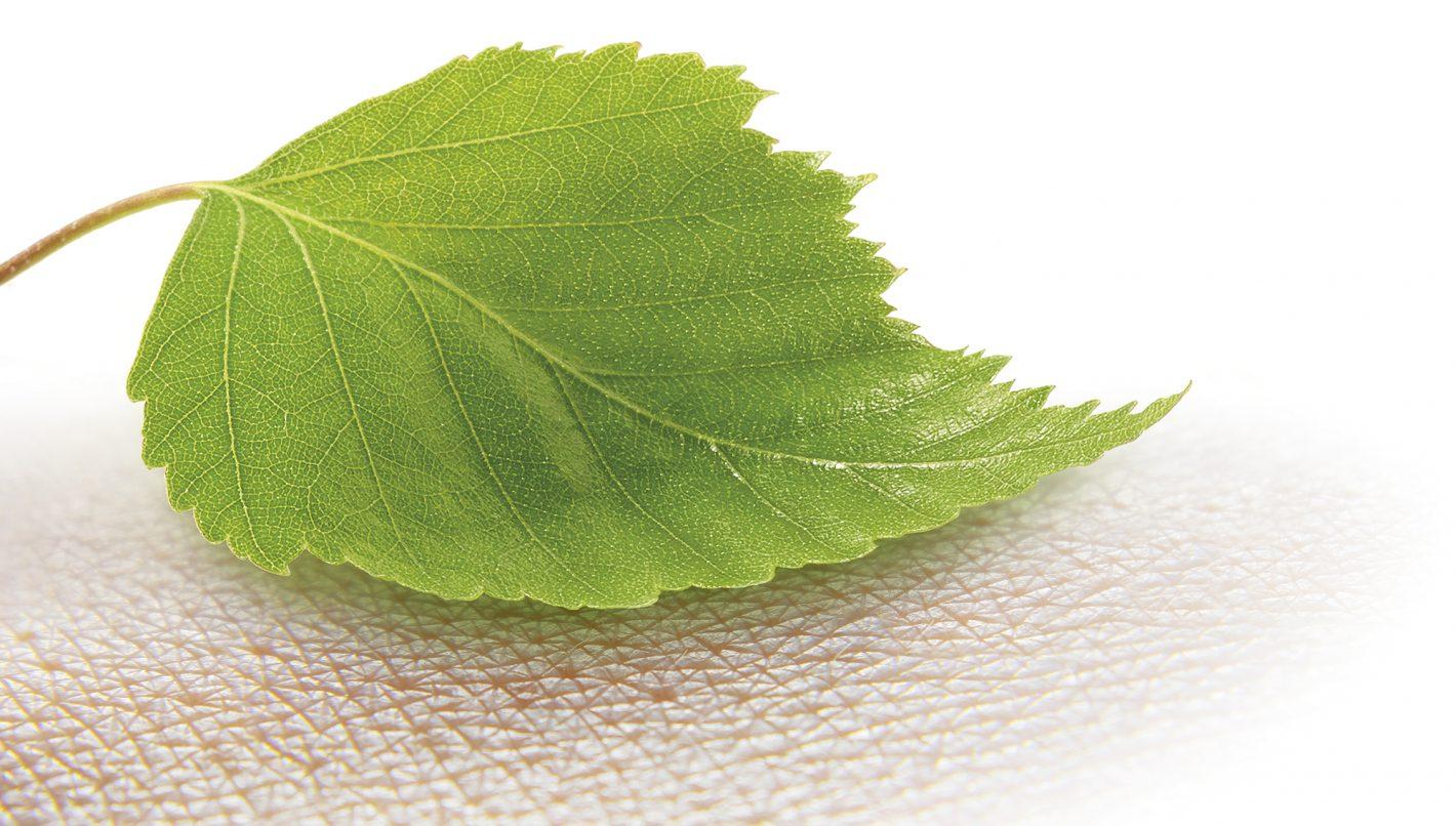Birch leaf.