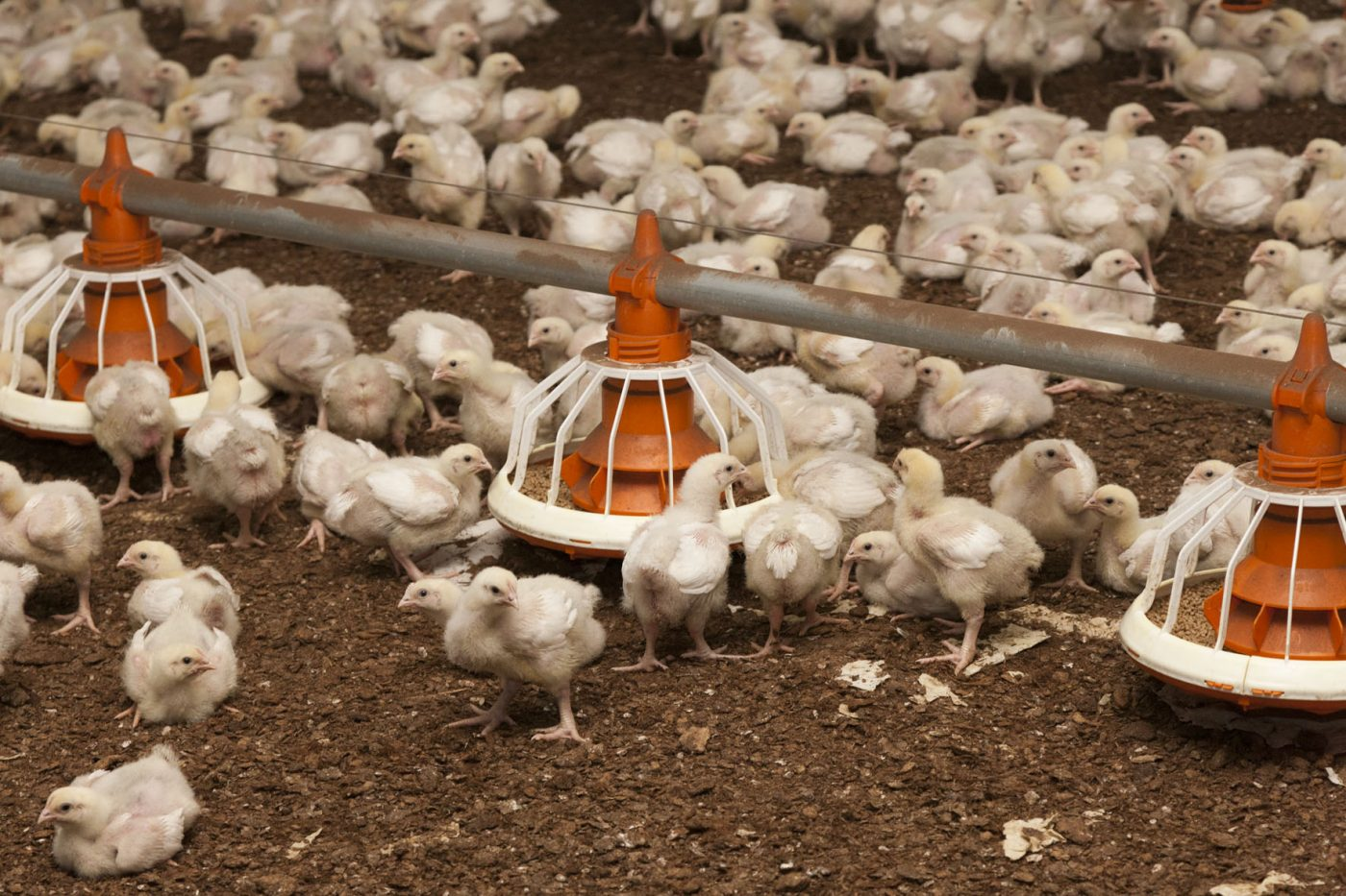 Poultry Suomeksi